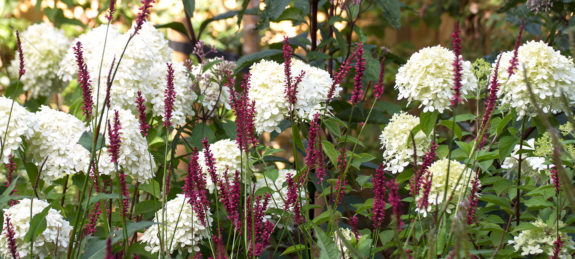 persicaria-and-hydrangea-planting-design-mike-harvey