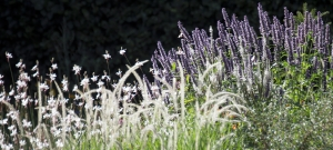 gaura-pennisetum-agastache-mike-harvey-garden-design-and-planting