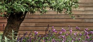 underplanted-olive-tree-brighton-garden-design